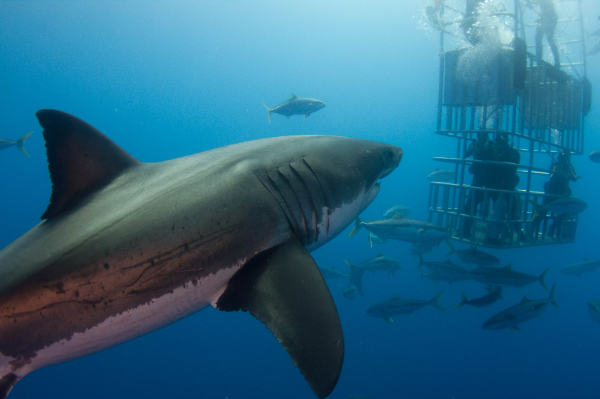 Cage diving with sharks in San Francisco and Mexico