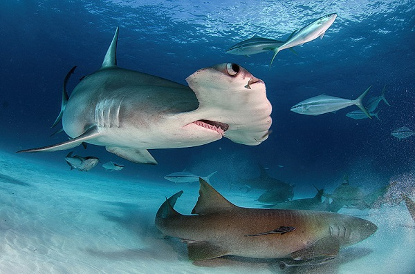 Incredible Adventures offers shark dives in Bimini and Beyond