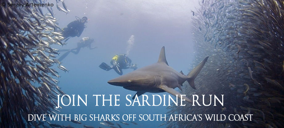 Join the Sardine - Dive with big sharks of South Africa's Wild Coast