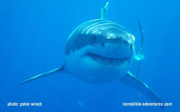 Shark Cage Diving Off The Farallon Islands California