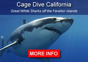 Sharks, Farallones, California