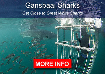 Sharks Gansbaai South Africa