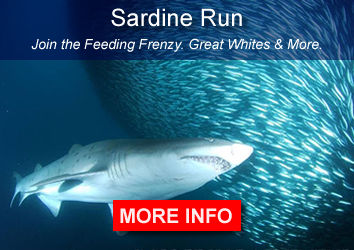 Sardine Run Sharks South Aftica