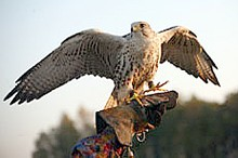 Falcons of Russia